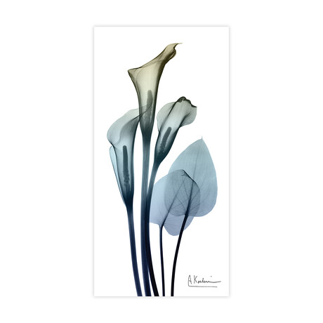 Calia Lily