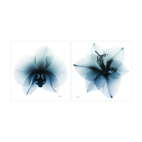 Glacial Orchid & Glacial Amaryllis // Set of 2